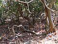 Addacettu (Telugu- అడ్డచెట్టు) (8631081904).jpg