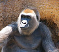 Adult Female Gorilla (3535146760).jpg