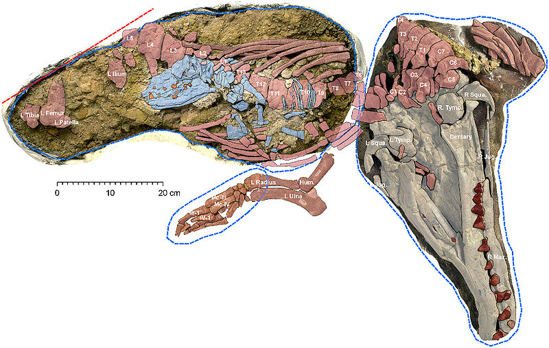 Adult female and fetal Maiacetus.jpg