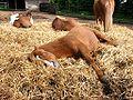 Aegidienberger (Horse).jpg