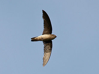 Swiftlet - Black-nest swiftlet