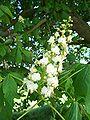 Aesculus hippocastanum 21.jpg