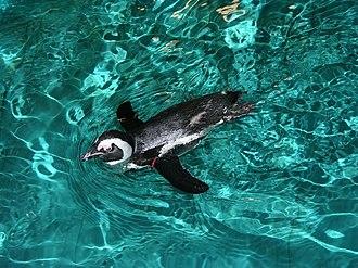 African penguin - African penguin at the New England Aquarium