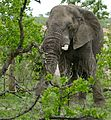 African Elephant (Loxodonta africana) bull grazing ... - Flickr - berniedup.jpg