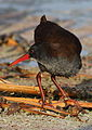 African Rail, Rallus caerulescens at Marievale Nature Reserve, Gauteng, South Africa (20626287954).jpg