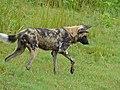 African Wild Dog (Lycaon pictus) (14017381654).jpg