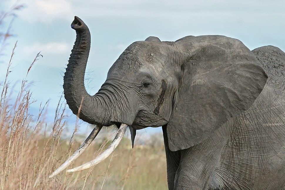 African elephant warning raised trunk