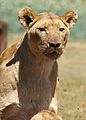African lion, Panthera leo feeding at Krugersdorp Game Park, South Africa (29776610290).jpg