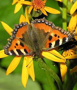 Kiek gyvena drugeliai