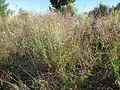 Agrostis stolonifera plant (2).jpg