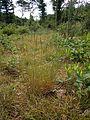 Agrostis vinealis plant.jpg