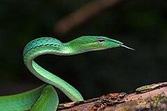 Ahaetulla prasina, oriental whipsnake - Kaeng Krachan National Park.jpg