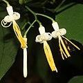 Alangium platanifolium var. trilobatum (with bee s2).jpg