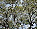 Albizia saman - Raintree at Mysuru (1).jpg