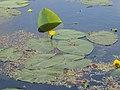Alde Feanen - Gele waterlelie.jpg