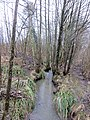Alder carr at Steam Mills Lake - March 2013 - panoramio.jpg