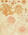 Algae japonicae Musei botanici lugduno-batavi (1870) (17329252473).jpg