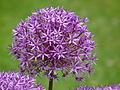 Allium Fulda Juni 2012.JPG