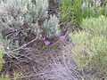 Allium acuminatum (4045134335).jpg