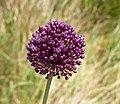 Allium scorodoprasum inflorescence (16).jpg
