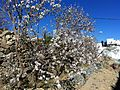 Almond Flower 03.JPG