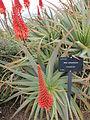 Aloe arborescens 3.jpg