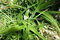 Aloe dorotheae-Jardin botanique Jean-Marie Pelt (2).jpg