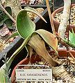 Aloe karasbergensis 1.jpg