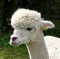 Alpaca - Flickr - gailhampshire.jpg