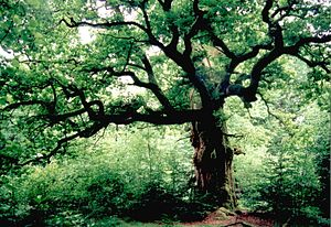Reinhardswald - Old oaks in the ancient forest of Sababurg