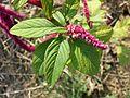 Amaranthus caudatus sl5.jpg