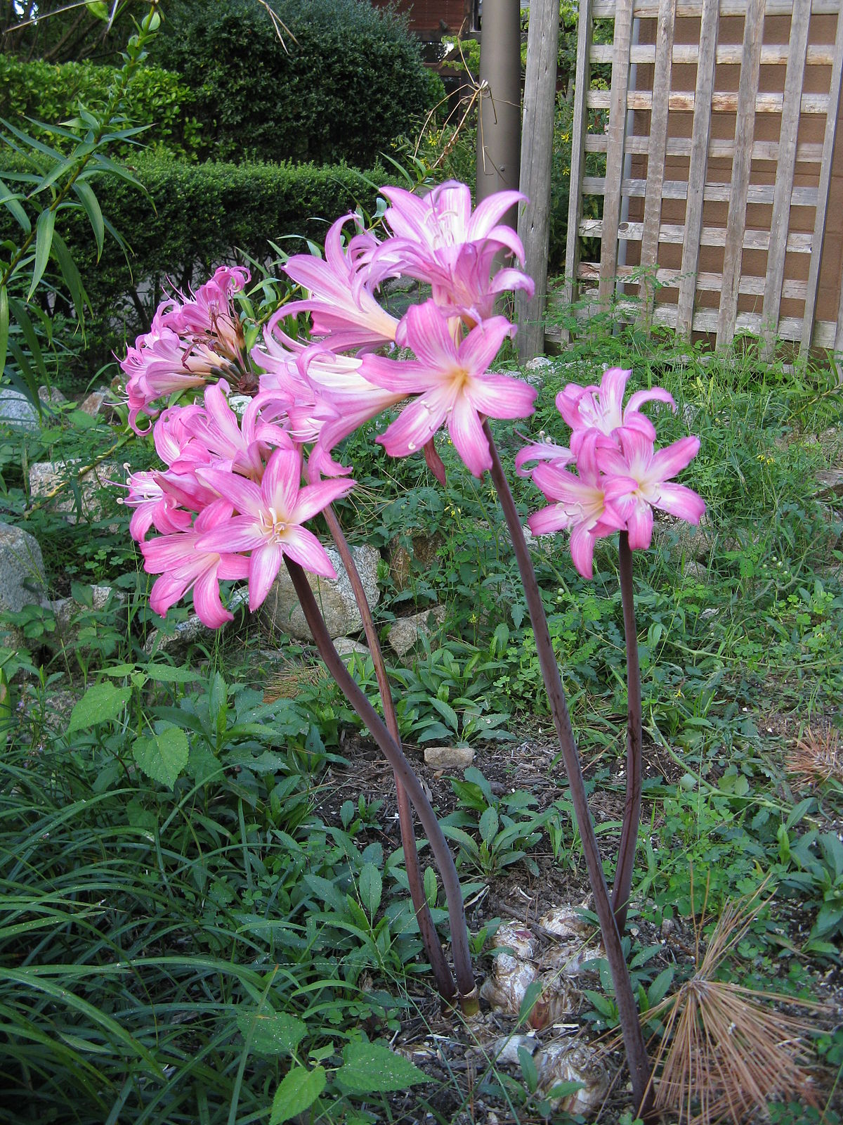 Amaryllis belladonna wikip dia a enciclop dia livre for Amaryllis belladonna vente