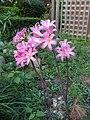 Amaryllis belladonna 02.jpg