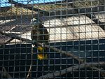 Amazona guildingii -Houston Zoo-4a.jpg
