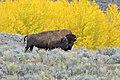 American Bison AdF.jpg
