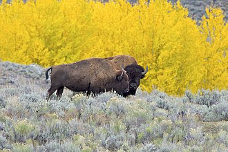American bison - Adult male (farther) and adult female (closer) with a background of rich autumn colors, in Yellowstone National Park