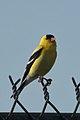 American Goldfinch (Spinus tristis) - Guelph, Ontario.jpg