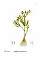 American Medicinal Plants-1-0029-3.png