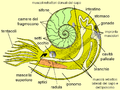 Ammonite anatomy.PNG