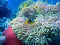 Amphiprion bicinctus St John reef 02.JPG