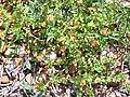 Anagallis arvensis Habitus 2011-5-22 SierraMadrona.jpg