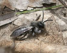 Andrena cineraria (male).JPG