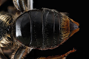 Tergum - Abdominal tergum (divided into several tergites) of a bee.