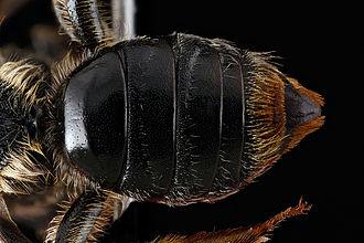 Tergum - Image: Andrena spiraeana abdomen