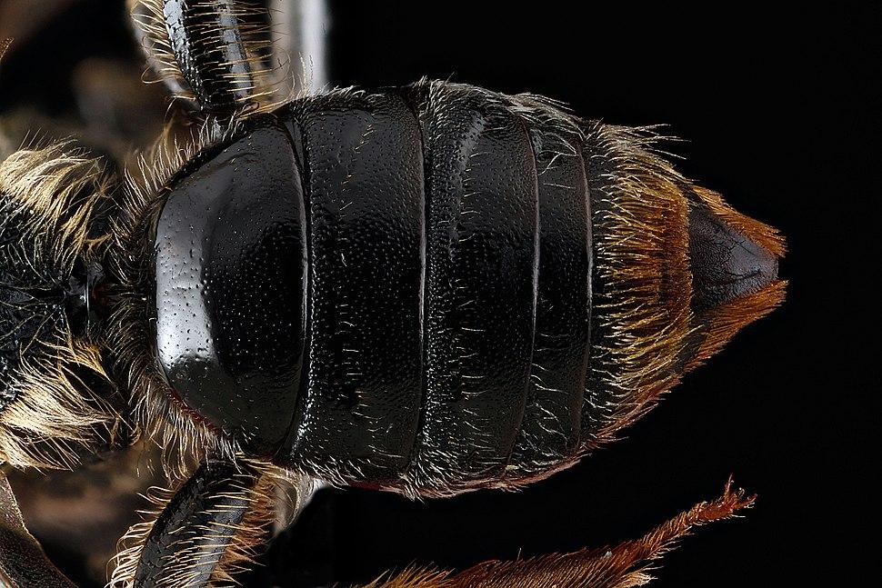 Andrena spiraeana abdomen