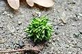 Andricus grossulariae asexual from Quercus robur 3.JPG