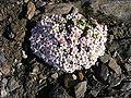 Androsace alpina02.jpg