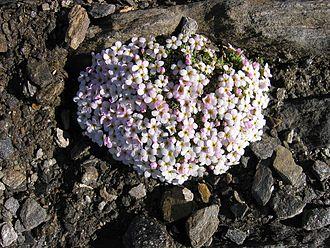 Flora of the Alps - Alpine rock-jasmine (Androsace alpina)