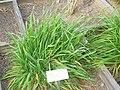 Anisantha tectorum - Oslo botanical garden - IMG 8878.jpg