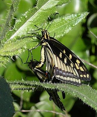 Papilio zelicaon - Mating